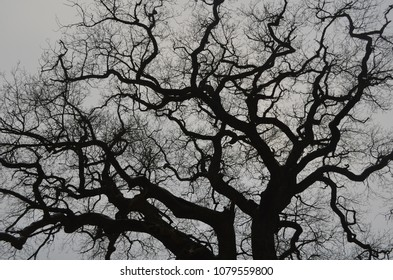 Tree branches against a gray sky. Could be used as a backgroud.  Artsy and creepy.