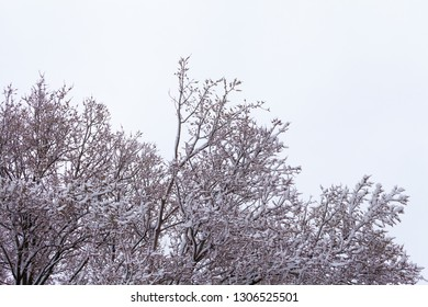 Tree Branches against the sky after a snowfall