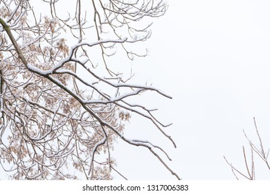 Tree Branches against the sky after a snowfall in winter