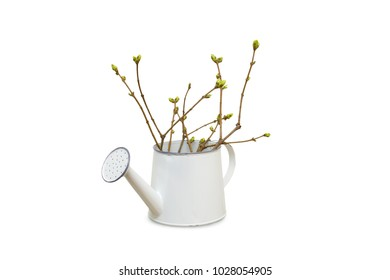 Tree branches with Bud blossoming in watering can isolated on white background