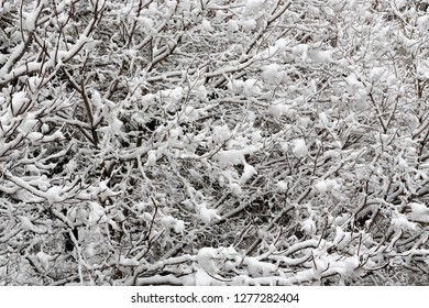 tree branches covered with fresh snow, seasonal image for winter