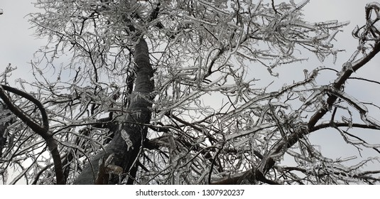tree with branches covered in ice. in the background is the sky