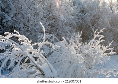 Tree branches covered with snow in sunlight in the forest