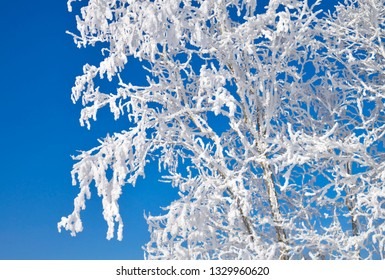 Tree branches covered with white frost against blue sky.