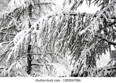 Tree branches covered withlot of snow on frosty winter day. Winter and nature concept.