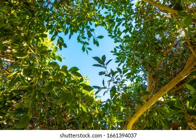 Tree Branches With Fresh Green Leaves In The Forest. Bright Lush Foliage And Blue Sky. Looking Up Into The Treetops, Ground View, From Below. Spring Or Summer Sunny Day.