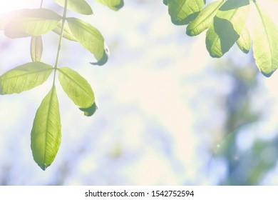 Tree branches with green leaves swaying on wind on nature blur background, closeup view. Sun's rays shining through the leaves of the trees.