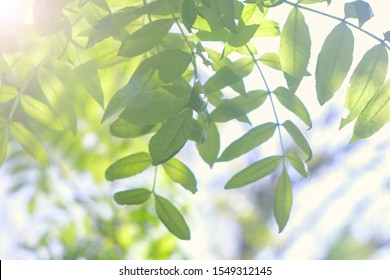 Tree branches with gren leaves swaying on wind on nature blur background, closeup view. Sun's rays shining through the leaves of the trees.