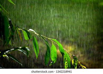 Tree branches and lush green growth tree with rain falling drops drips storm