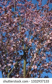 Tree with branches with pink blossom at blue sky