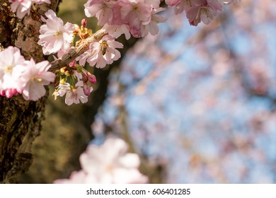 Tree and tree branches with pink blossom and a honey bee foraging, space for text