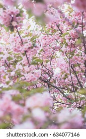 Tree, branches, pink cherry blossom. Gentle petals of cherry blossoms - Shutterstock ID 634077146