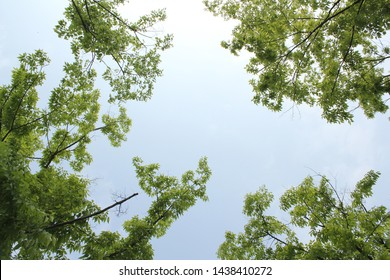 Tree branches and sky seen from low angle