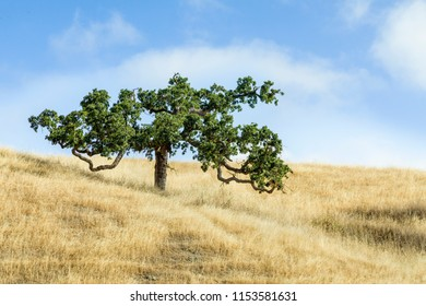 A tree with branches that twist and meander is surrounded by a hillside of golden grass under a cloudy blue sky in Marin County, California.