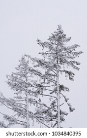 Tree branches under a heavy snow in winter