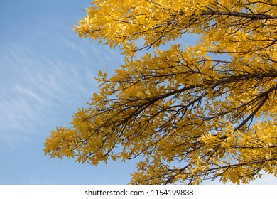 Tree branches with yellow leaves against a blue sky background