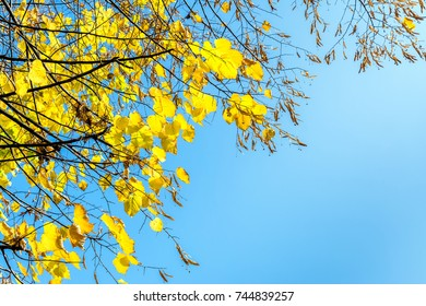 tree branches with yellow leaves in autumn and blue sky as background