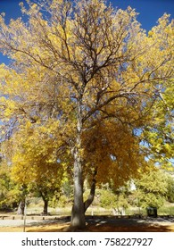 Tree with bright autumn colors, Jackson Lake, CA