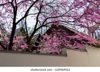 Tree with bright pink blossoms growing. Branches with pink flowers hung over the fence of the house.