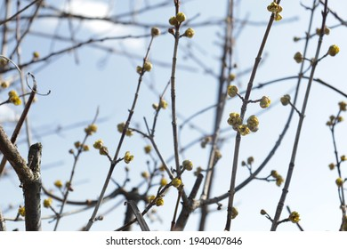 Tree buds in spring. Young large buds on branches against blurred background under the bright sun. Beautiful Fresh spring Natural background. Sunny day. Few buds for spring theme.