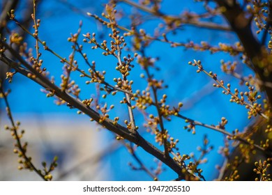 Tree buds in spring. Young large buds on branches against blurred background under the bright sun. Beautiful Fresh spring Natural background. Sunny day.