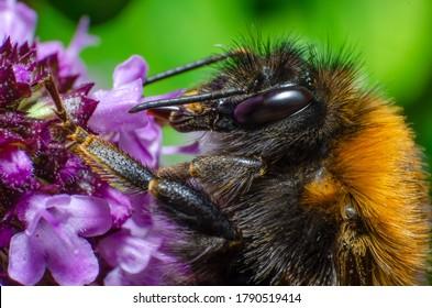 Tree Bumble Bee feeding on Purple Flowers (Bombus hypnorum)