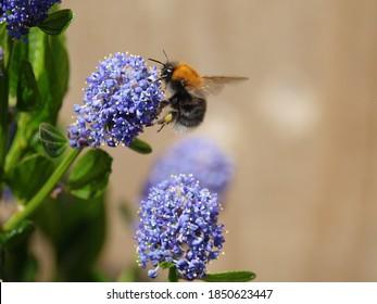 tree bumblebee (Bombus hypnorum) feeding on spring flowers