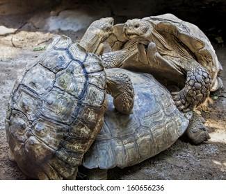 Tree Burmese land tortoises in mating game