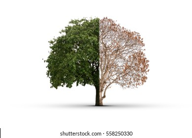 The tree was burned to death in half and the other half are still alive luxuriant green foliage. And repair the damage As the human body to heal the damage. This has isolated with clipping path.