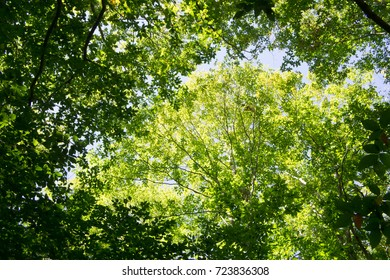 Tree Canopy, fall, Wompatuck State Park
