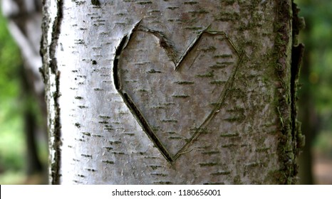 tree carved heart birch tree with carving of a heart