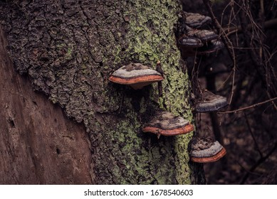 Tree chaga mushrooms on a mossy tree trunk in the forest.