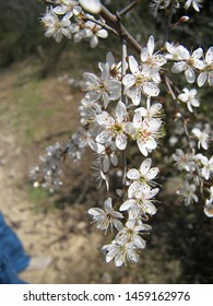 The tree of cherry tree featuring cherry tree rosaceae flower. The botanical family of cherry tree is rosaceae trees.