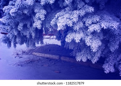 Tree and Christmas tree branches in frost and snow