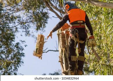 Tree climber cutting tree