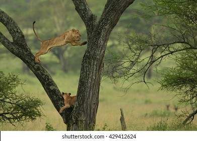 TREE CLIMBING LIONS !