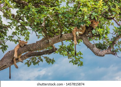 Tree climbing lions in Ishasha, Queen Elizabeth National Park Uganda