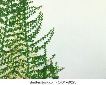 Tree climbing on white wall background, natural leaf background green tree on the wall texture, nature plant leaf pattern on concrete framing