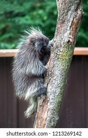 tree climbing porcupine in north america