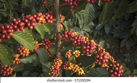 Tree of coffee with its branchs full of beans