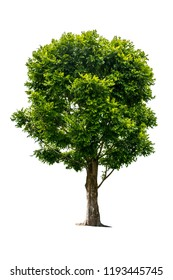 The tree is completely separated from the white ba background Scientific name Dolichandrone serrulata (Wall. ex DC.) Seem.