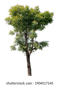 The tree is completely separated from the white background Scientific name Dolichandrone serrulata (Wall. ex DC.) Seem.
