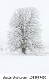 Tree covered with hoarfrost in a foggy landscape