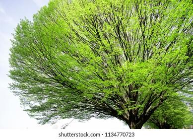 Tree crown in spring