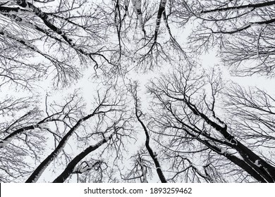 Tree crowns from below. Winter trees in the park