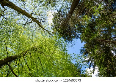 Tree crowns in mixed forest with blue sky