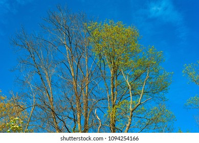 Tree crowns with spring leaves just coming in against a deep blue sky