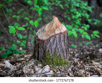 tree cut by a beaver. Poland.