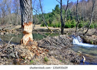 Tree cut by  beavers. Work of beaver in forest. Tree is gnawed off. Beavers building a dam in a river in spring season.