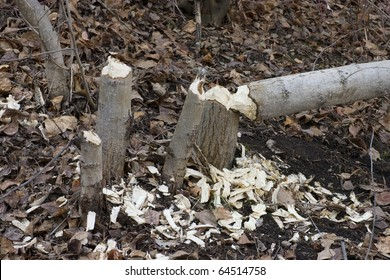 Tree cut down by a beaver (Castor canadensis).